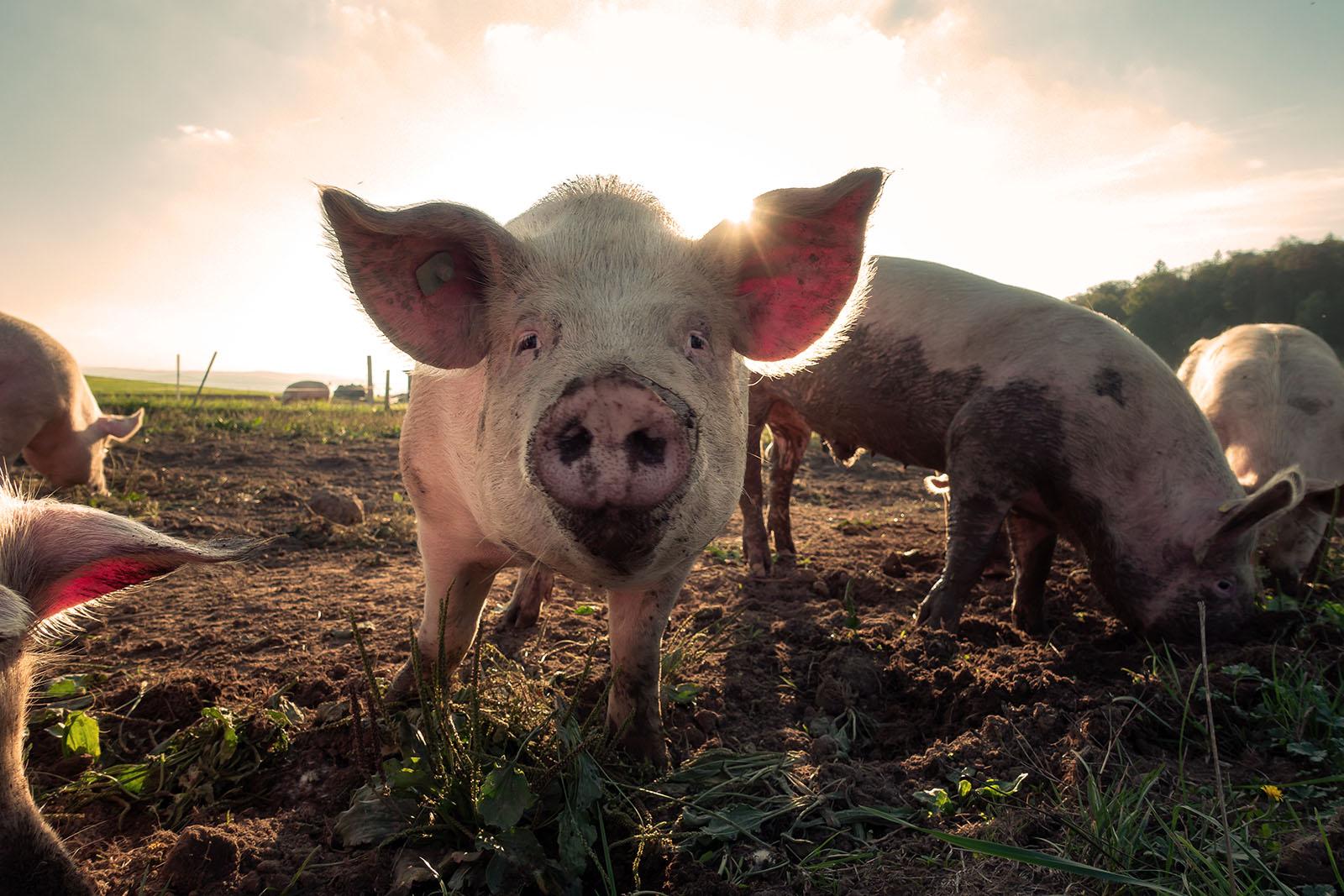 L'année du cochon, bonne fortune et prospérité !